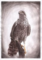 Goshawk by evgeniyfill82
