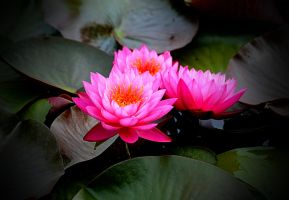 Cluster of Lilypad Blooms by Tailgun2009