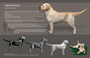 Labrador Retriever Comp by EtherealProject