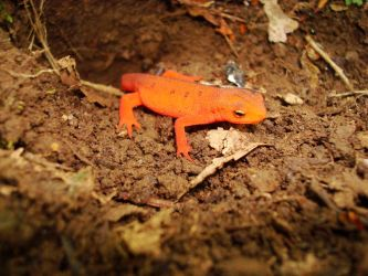 Red Eft on the AT by pinky3353
