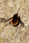 Beefly closeup. by quaddie