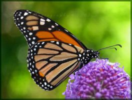 Monarch by Irena-N-Photography