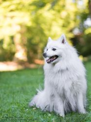 Hiromi, japanese spitz by Qualisco
