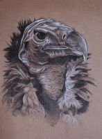 Lappet faced vulture by Concini