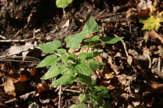 Stinging nettle by UdoChristmann