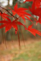 Red Maple 3 by Aquiose
