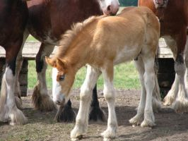 Clydesdale Foal by okbrightstar-stock