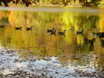 Geese on the River by Britt13
