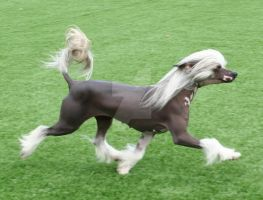 Chinese Crested 2 by RebeccaNewton