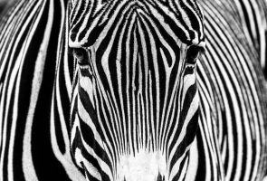 Zebra by nigel3