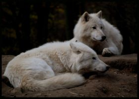 wolf: relaxing together by morho