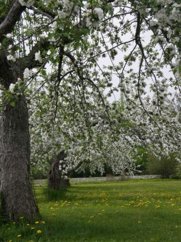 Annapolis Valley Apple Blossom by thecraftinista