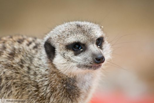 Meerkat, Amneville zoo by BKcore