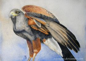 Harris Hawk by IvieMoon