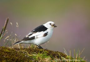 Snow Bunting by FForns