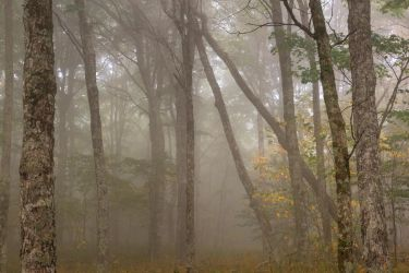 Misty Spruce Knob Forest by somadjinn