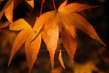 Two Maple leaves by vickychica