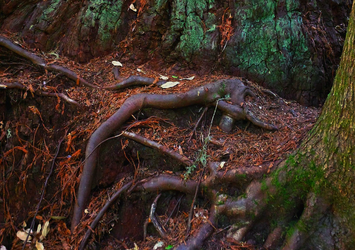Gnarled Roots by abekowalski