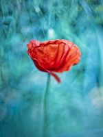 poppy... by AliceSKF