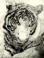 Dry Point Tiger by CourtneysConcepts