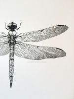 Dragonfly detail libellula vibrans pen drawing by chromartist