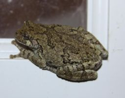 Tree Frog Stock - 5 of 8 by Lovely-DreamCatcher