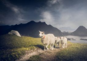 A sheep's life by streamweb