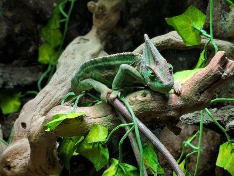 chameleon 1 by yellowicous-stock