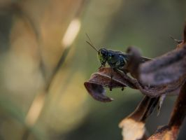 Red-Legged Grasshopper in the Leaves by KMourzenko
