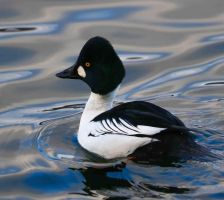Goldeneye by NurturingNaturesGift