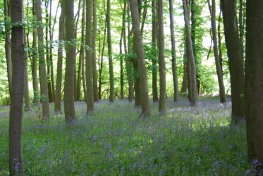 trees and bluebells by aleeka-stock