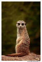 Meerkat Pose II by TVD-Photography