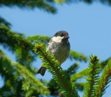 Among the spruce twigs by starykocur