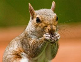 Squirrel by rctfan2
