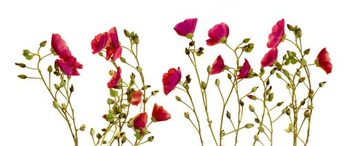 Fuschia Floral No. 1 by kparks