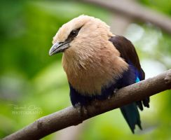 Blue-Bellied Roller II by RHCheng