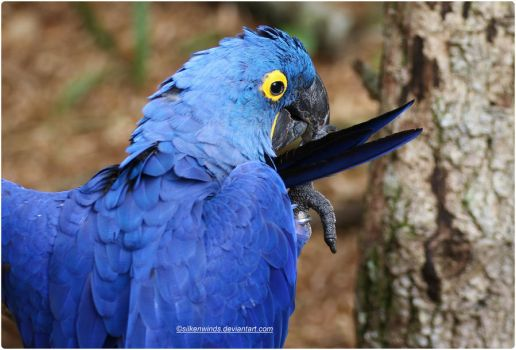 018- Blue Hyacinth Macaw by SilkenWinds