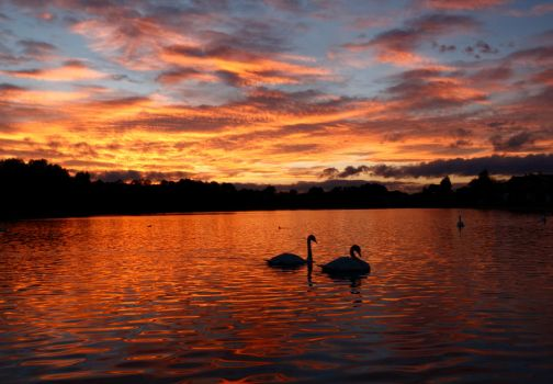Sunset swans by scotto