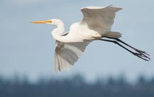 Cruising Egret by 88-Law