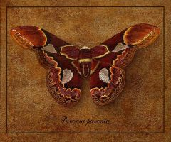 Butterfly 1 by INDRIKoff