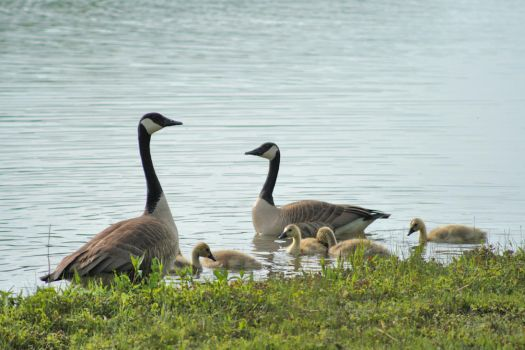 Goose Family by Anachronist84