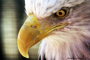 Bald Eagle by Riphath