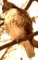 Is this a hawk by alahay