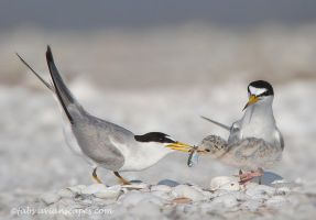 Leas Tern Family by FForns