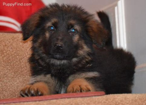 My new puppy. by Demintion