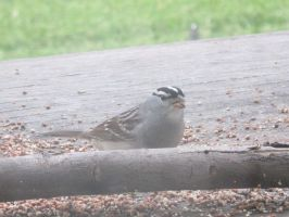 White-Crowned Sparrow (Zonotrichia leucophrys) 2b by Windthin
