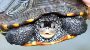 Maryland Terrapin by faolruadh