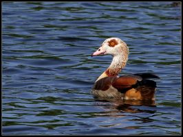 Egyptian Goose by cycoze