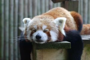 Red Panda by bitspike