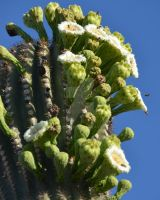 My Saguaro Bloomed by oddjester